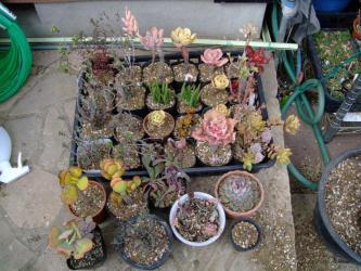 根詰まりしていたチリチリ多肉~エケベリア&葉物メセンなど~スッキリ・サッパリ植え替え完了♪春の成長が楽しみです♪2013.02.05