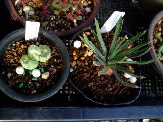 左:ブルビネ アフ メセンブリアントイデス(Bulbine aff. mesembryanthoides) 、右:ブルビネ ハオルチオイデス(Bulbine haworthioides) 2013.02.10