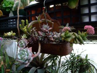 サビサビ~多肉の1年後~♪クラッスラ スプリングタイム・神童(しんどう)に花芽ができています。2013.02.10