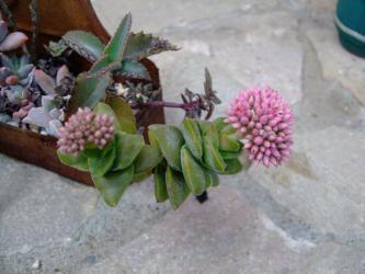 クラッスラ スプリングタイム=神童(しんどう)(Crassula SHINDOU=SPRINGTIME?) の花芽~♪2013.02.10