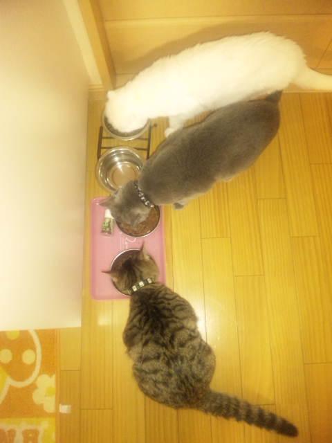 三色猫ごはん