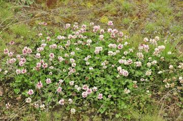 blog Kushiro gawa, Shirotsume-kusa_DSC6892-6.28.11 (2).jpg